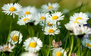 chamomile-flowers-summer-grass-herbs1st