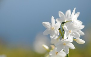 Jasmine-Flower-10-39159-HD-Screensavers-1024x640