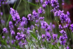 Lavender_7